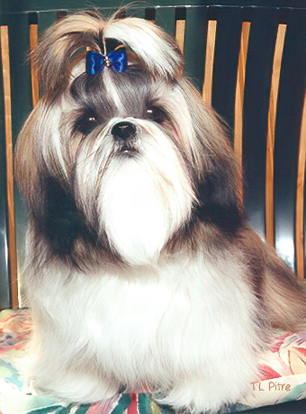 My beloved Shih Tzu, Amy