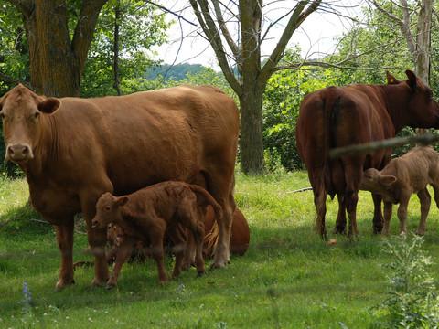 Newborn Calfs