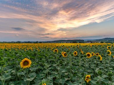 Sonnenblume (0002_.jpg
