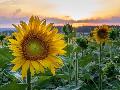 Sonnenblume (0003_.jpg