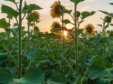 Sonnenblume (0001_.jpg