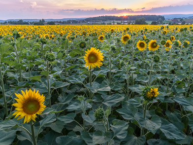 Sonnenblume (0004_.jpg