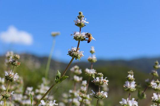 Sage Bee