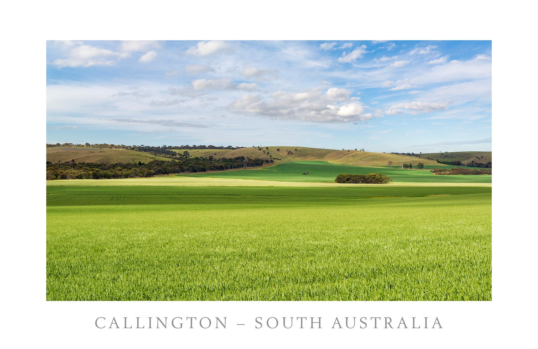 Wheat Fields -- Callington