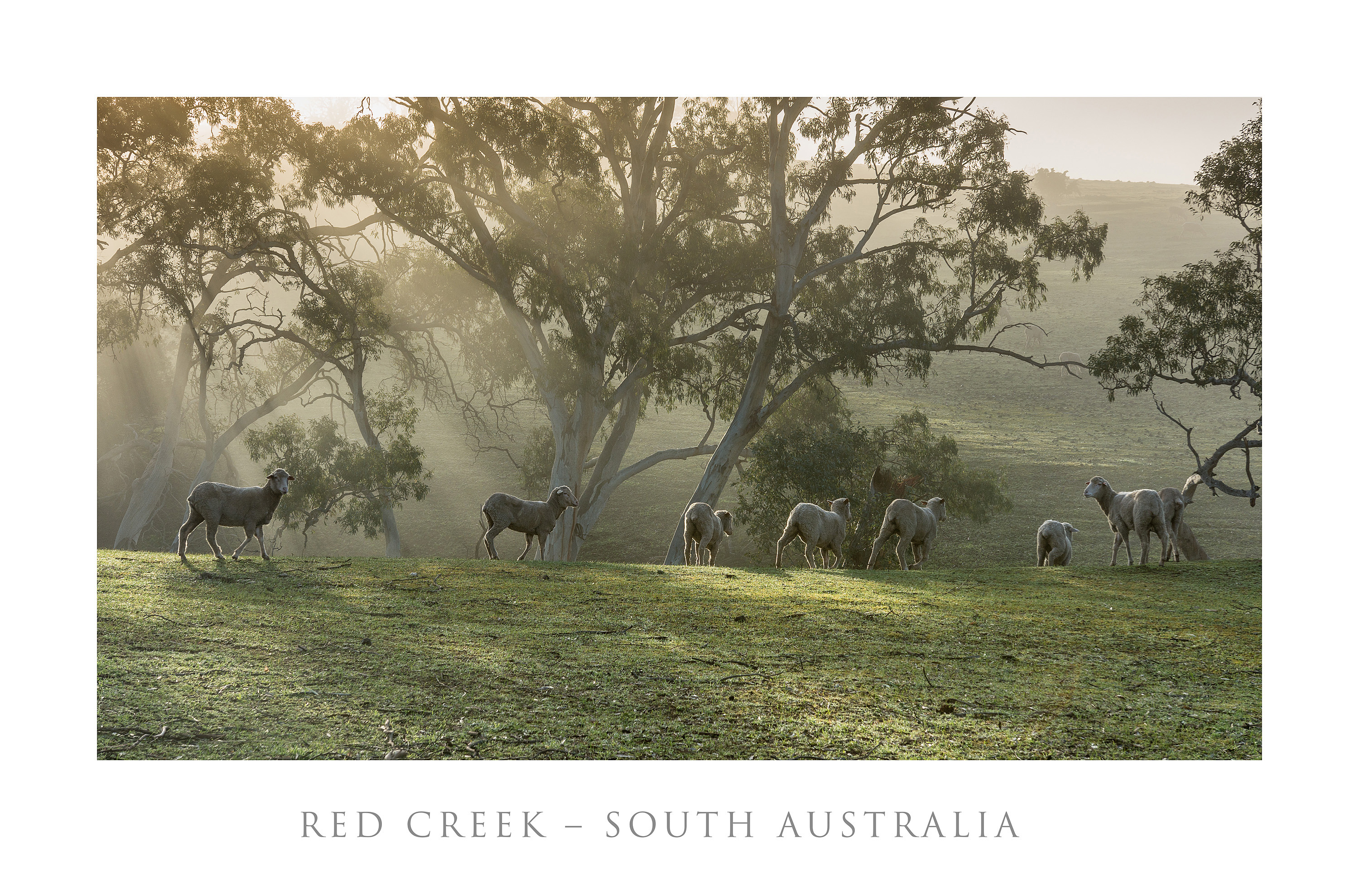Red Creek - Misty Sheep