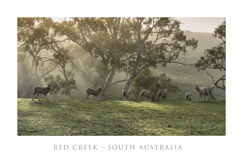 Red Creek - Misty Sheep