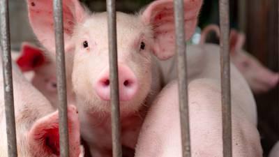 La peste porcina africana se extiende por América y llega a Haití