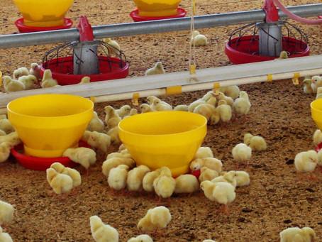 Buenas Prácticas Pecuarias contra influenza aviar notificable