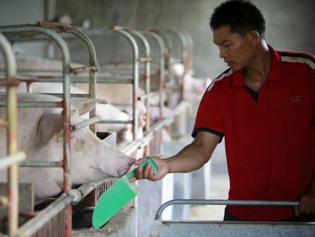 En 2021 China continuará dictando el comportamiento del mercado de la carne de cerdo a nivel mundial