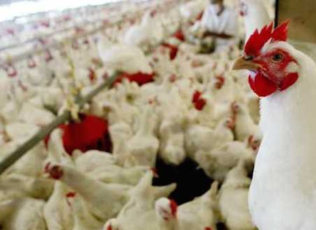 La producción de carne de aves en China alcanzará en 2020 los 15,8 millones de t