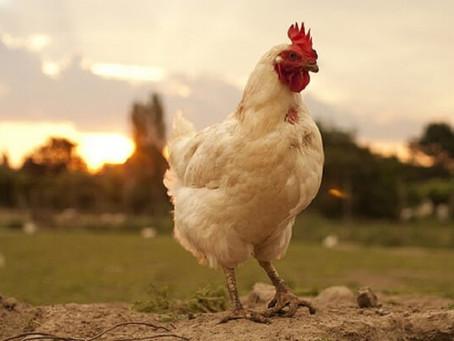 Campylobacter resistente a los antimicrobianos en pollos, revela la Food Standards Agency.