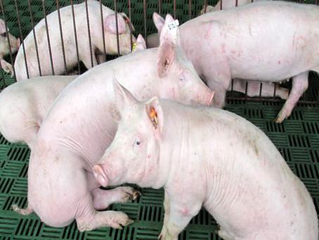 El Friedrich-Loeffler-Institut descarta que los cerdos se vean afectados por el coronavirus