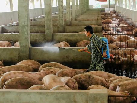 Este año China reducirá en 10% sus importaciones de cerdo
