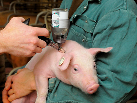 Preparan vacuna contra cisticercosis