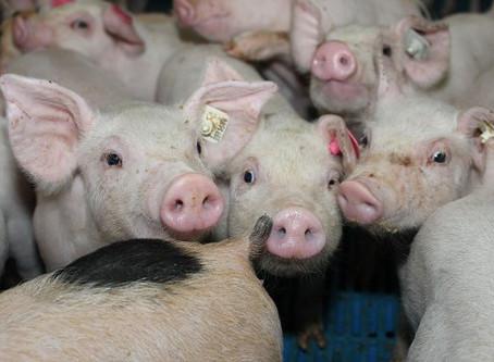 Medición de la eficacia de los filtros de aire de los establos de cerdos.