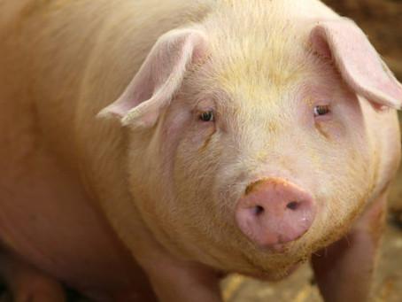 Niveles daneses de resistencia a los antimicrobianos en animales y carne estables