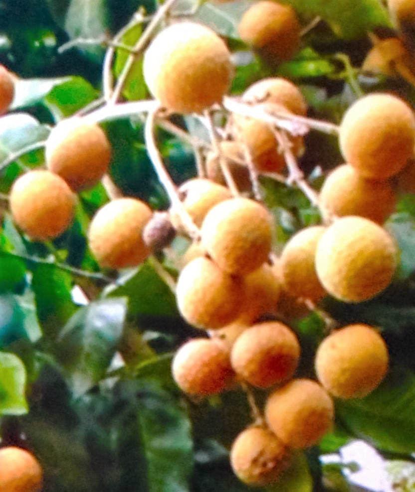Fresh Longan on the Tree