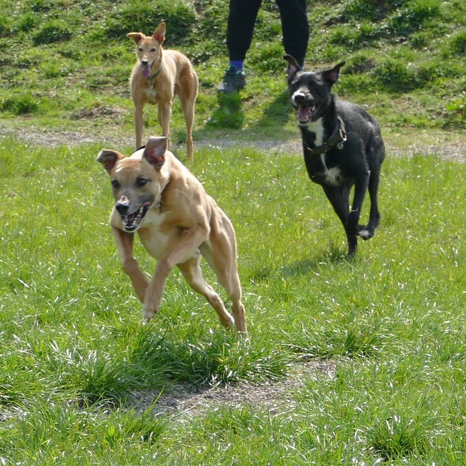 Do greyhounds need a lot of exercise?