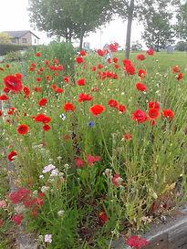 poppies_19.jpg