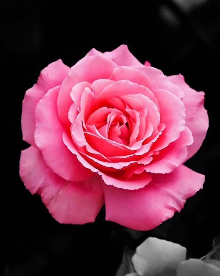 北九州響灘グリーンパークにて撮影したバラ