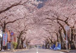 福岡県北九州市の桜のトンネル