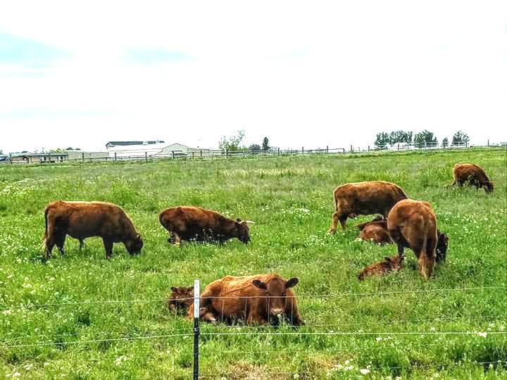 Irish Dexter Cattle