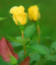 reflections of a rose.jpg
