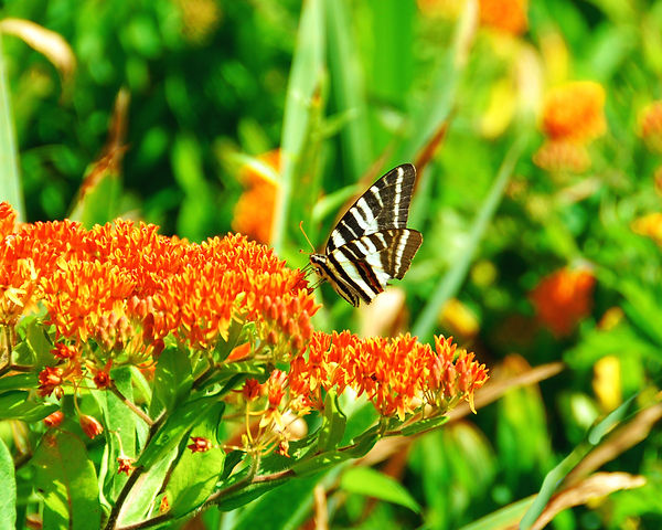 butterfly in orange.jpg