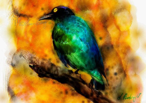 Glossy Starling 1.jpg