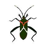 heliconia bug.jpg