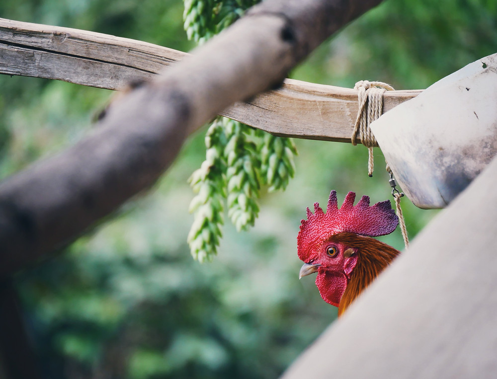 Rooster hidden in his coop