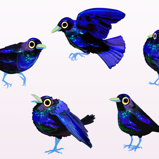 Brewers-BBird-Drawings.png