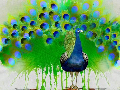 peacock in plume.jpg