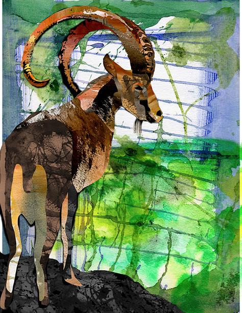 Wild ibex.jpg