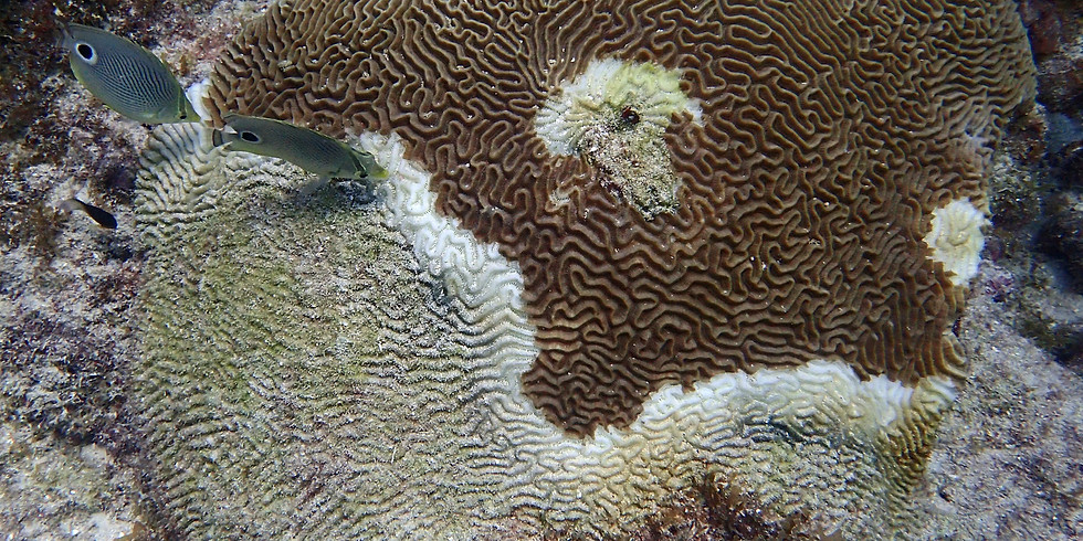 Stoney Coral Tissue Loss Disease Dive