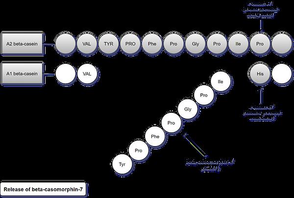 A2 Milk Diagram 2.png