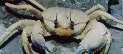 fig.6 beach crab.jpg