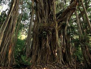 من غرائب الأشجار