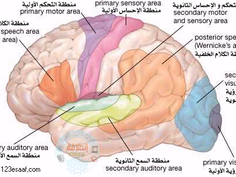المراكز العصبية المتعلقة بالحركات الإرادية