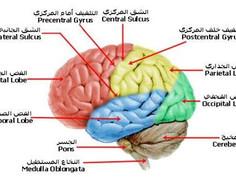 الدماغ وآلية الكلام