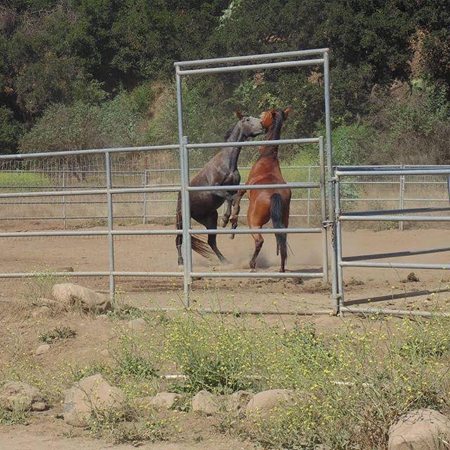 The boys playing!!! #horses #freezebrand