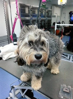 Terrier cross poodle