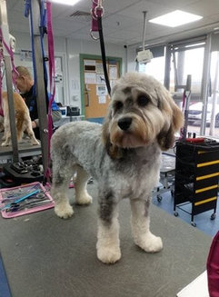 Terrier cross poodle After