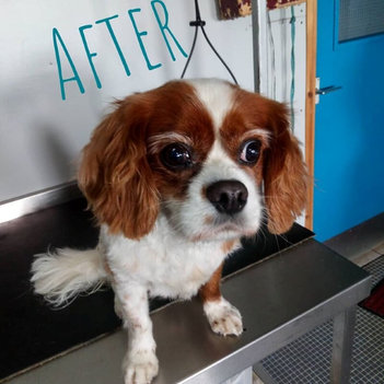 Cavalier King Charles Spaniel After