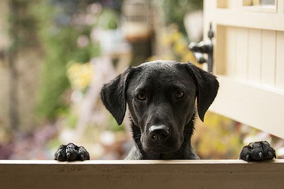 black labrador.jpg