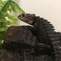 red eyed croc skink