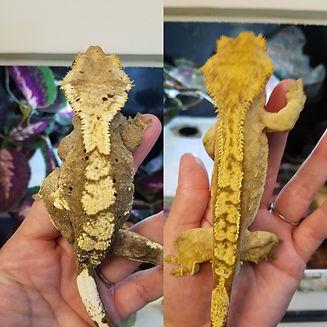 gecko pair 2.jpg