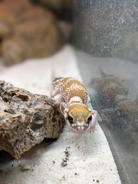 gecko.jpg