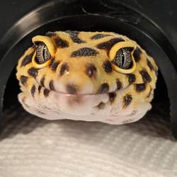 leoaprd gecko.jpg