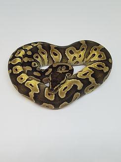 ball python 2